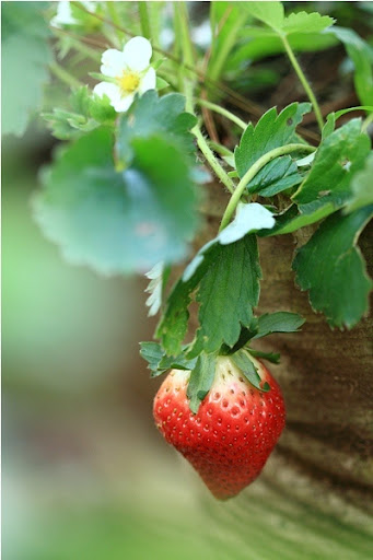 Petik Sendiri Strawberry Segar di Kebun Strawberry Cikole Lembang