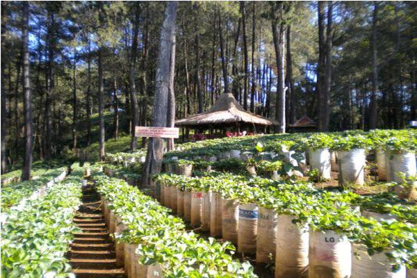 Htm Kebun Strawberry Bandung