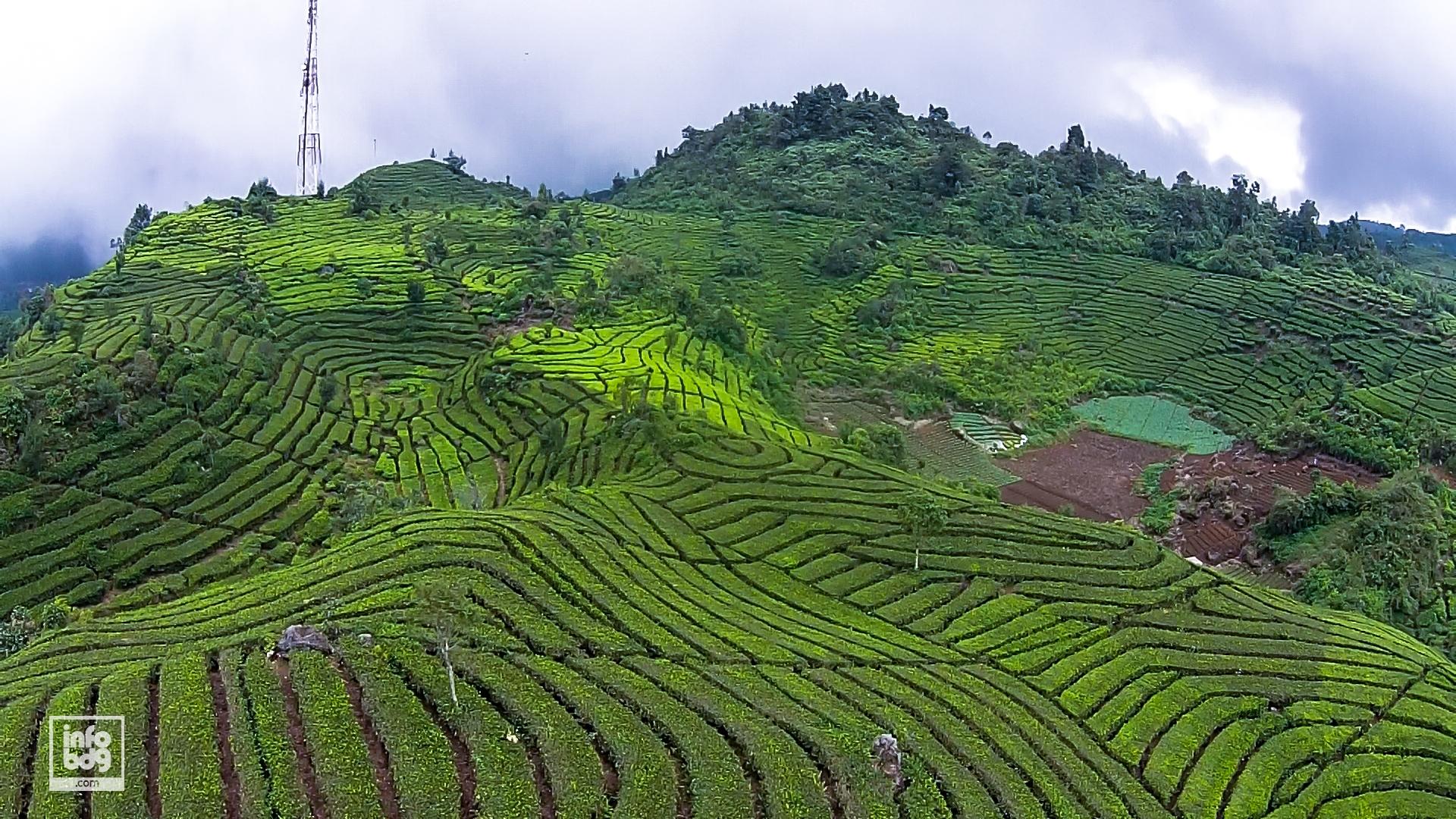 Gambar Kebun Teh Di Ciwidey Yuk Jelajah 6 Kebun Teh Cantik Di Bandung